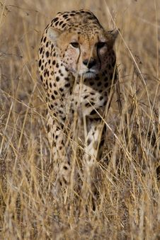 Free Cheetah Portrait Stock Photo - 2413710