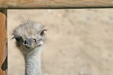Free Ostrich Head Stock Photo - 2413850