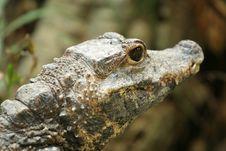 Crocodile Closeup Stock Photo