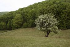Free Lonely Tree In Bloom Stock Photos - 2414203