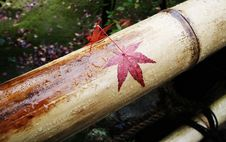 Japanese Maple On Bamboo Royalty Free Stock Photography