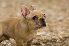 Free Bulldog Puppy Stock Image - 2415021