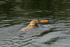 Free Golden Retriever Swimming Royalty Free Stock Photos - 2415068