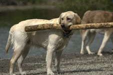Free Yellow Lab With Big Stick Stock Photos - 2415083