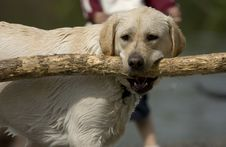 Free Yellow Lab With Big Stick Stock Images - 2415084