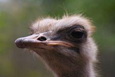 Free Ostrich Stock Image - 2415241