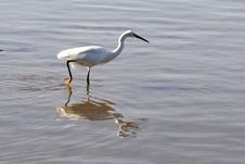 Free Egret Walking In The Water Royalty Free Stock Photos - 2415488