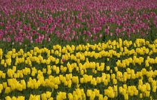 Free Pink And Yellow Tulips Stock Photography - 2415702