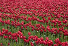 Free Red Tulips Stock Photography - 2415742