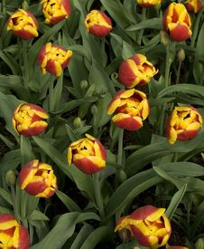 Free Yellow-red Tulips Stock Images - 2415744