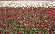Free Field Of Tulips Stock Photos - 2415843