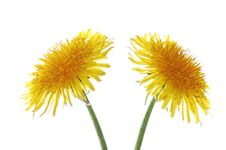 Free Two Dandelions Stock Images - 2416784