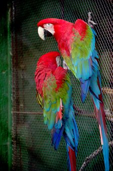 Free Parrots Stock Images - 2417374