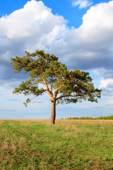 Free Lone Pine In The Spring Royalty Free Stock Photo - 2418115