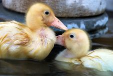 Pair Of Yellow Ducklings Stock Photography