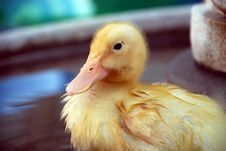 Free Wet Yellow Duckling Stock Photography - 2419622