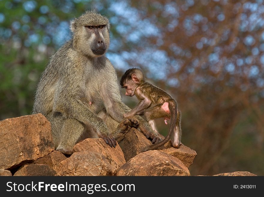 Baboon mother and infant