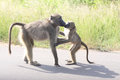 Free Hallo Mamma-Baboon! Royalty Free Stock Images - 24106119