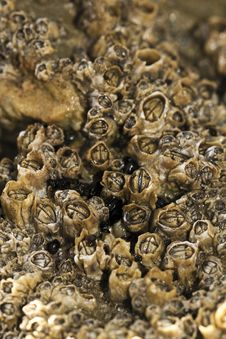 Free Colony Of Barnacles Royalty Free Stock Image - 24100016