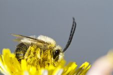 Free Long Horned Bee Royalty Free Stock Images - 24100109