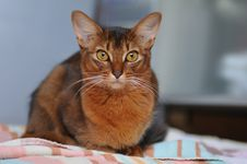 Free Somali Cat Portrait Royalty Free Stock Photo - 24100335