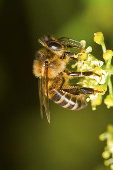 Free Honey Bee Stock Image - 24100341