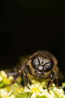 Free Honey Bee Royalty Free Stock Photo - 24100355