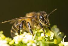 Free Honey Bee Royalty Free Stock Photography - 24100387
