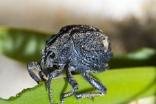 Free Snout Beetle Royalty Free Stock Photography - 24101977