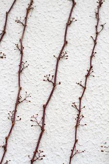 Free Dry Ivy Climbing Wall Royalty Free Stock Photo - 24102115