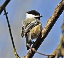 Free Black-capped Chickadee Royalty Free Stock Images - 24102709
