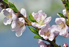 Free Peach Tree Blossoms Royalty Free Stock Photography - 24102777