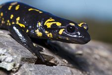 Free Fire Salamander Royalty Free Stock Photography - 24103067