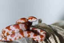 Free Red Corn Snake Stock Photos - 24103353