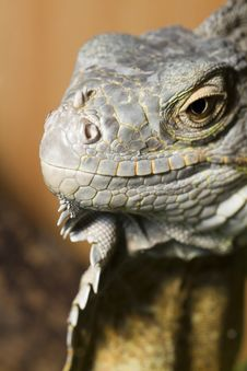 Iguana Lizard Royalty Free Stock Images
