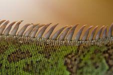Free Iguana Spiked Back Stock Photo - 24104000