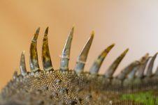 Free Iguana Spiked Back Stock Image - 24104031