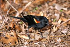 Free Red-winged Blackbird ,ale Royalty Free Stock Images - 24104309