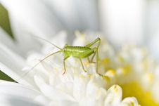 Free Katydid &x28;Odontura Glabricauda&x29; Stock Photo - 24104480