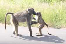Hallo Mamma-Baboon! Royalty Free Stock Images