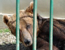 Free Bear Zoo Cage Royalty Free Stock Photos - 24109018