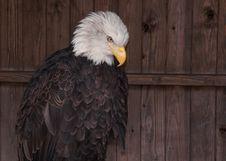 Free Bald Eagle Against Wooden Door Stock Photo - 24109570