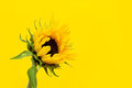 Free Sunflower On A Yellow Background. Royalty Free Stock Image - 24111826
