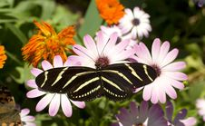 Zebra Longwing Butterfly Daisy Flower Garden Stock Photos
