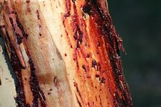 Gum Oozing From A Eucalypt Tree Trunk Royalty Free Stock Photos