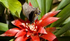 Free Pipevine Swallowtail Butterfly Flowering PLant Royalty Free Stock Image - 24113066