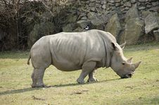 Free Rhinoceros In Zoological Garden Royalty Free Stock Photography - 24113947