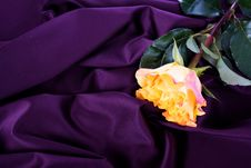 Free Yellow Rose On Purple Background Stock Photos - 24114573