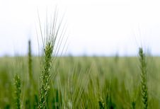 Free Green Wheat Royalty Free Stock Photo - 24116505