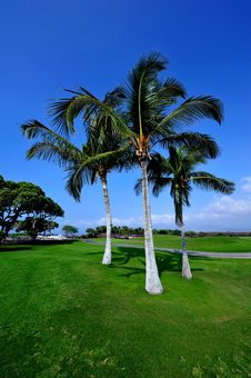 Free Beautiful Palmtree On Hawaii, Big Island Royalty Free Stock Image - 24116786